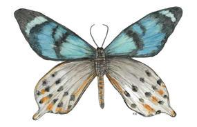 Papilio Laglaizei
