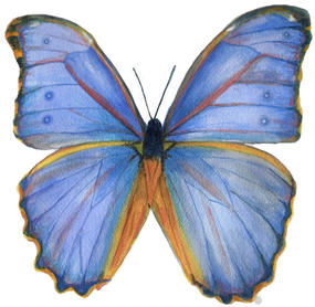 Blue Morpho for Dorie