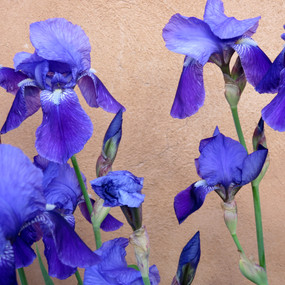 Santa Fe Iris