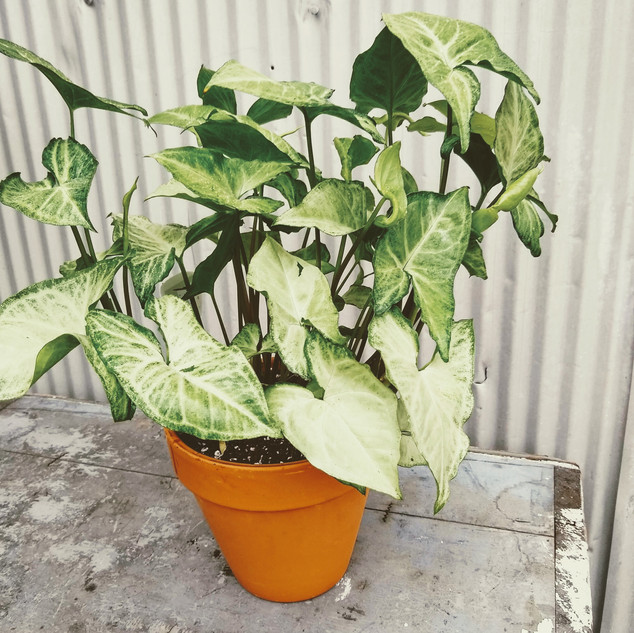 Potted Philodendron