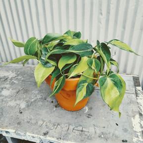 Medium Potted Plant
