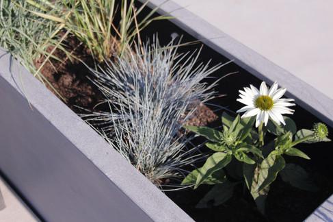Echinacea Alba, Festuca glauca v truhlíku