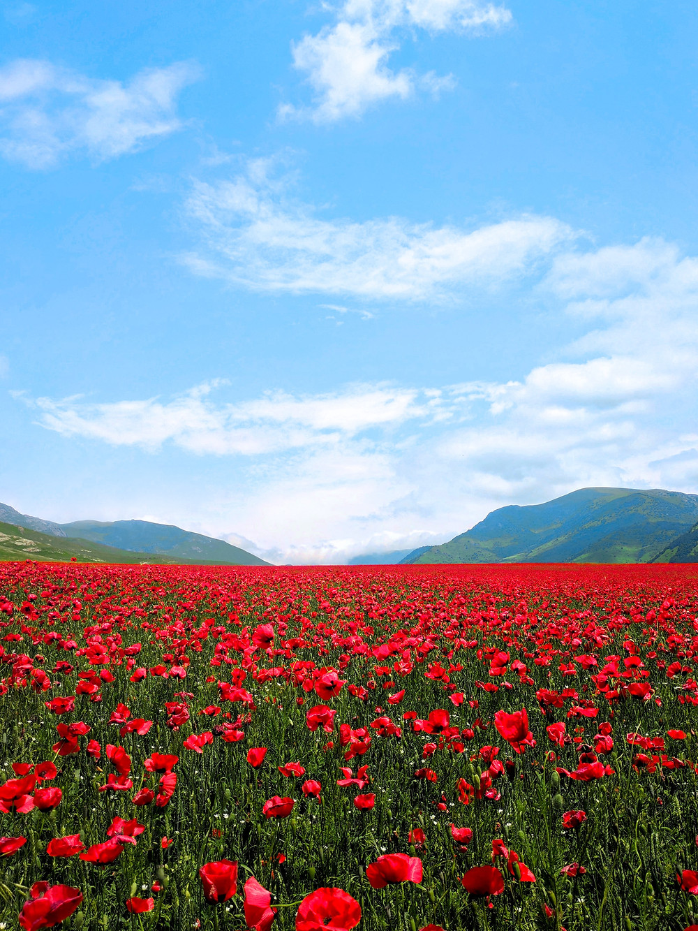 Flower field and mountains