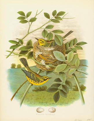 Plate 18: Prairie Warbler
