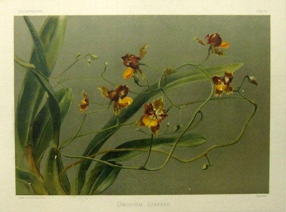 Plate 154: Oncidium loxense