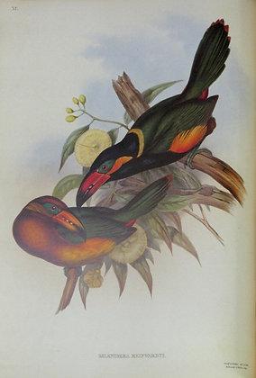 Plate 035: Selenidera Reinwardti