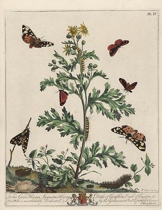 Plate 004 Cinnabar Moth, Cream Spotted Tiger Moth