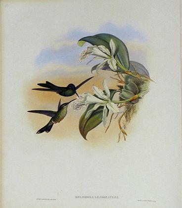 Plate 097: Heliodoxa Leadbeateri
