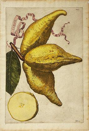 Plate 243: Limon Racemosus