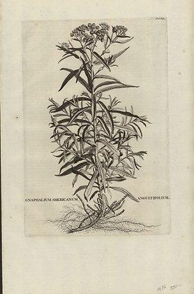 Plate 170: Gnaphalium Americanum angustifolium