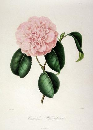 Camellia Willrchamia