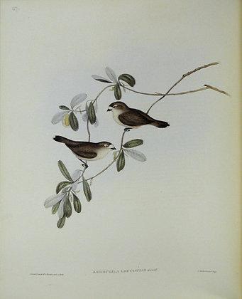 Plate 367: Xerophila Leucopsis