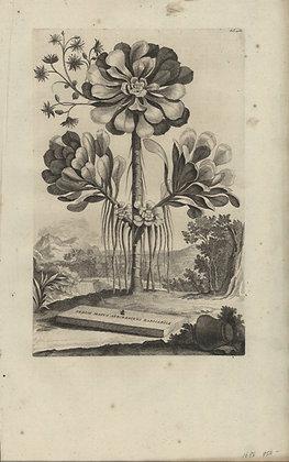 Plate 129: Sedum majus arborescens radicabile
