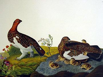 Willow Grouse, Large Ptarmigan