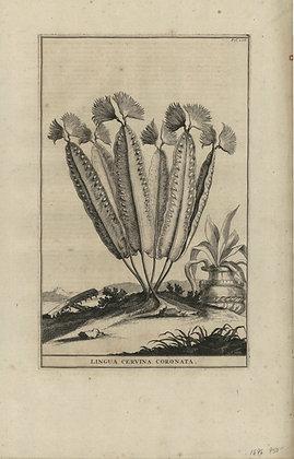 Plate 080: Lingua cervina coronata