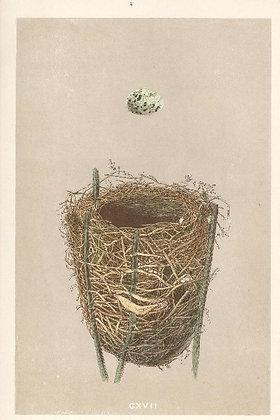 Plate 117: Reed Warbler
