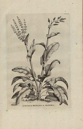 Plate 075: Acetosa Hispanica maxima
