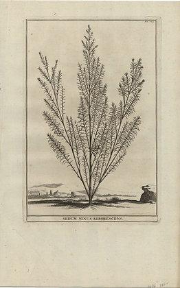 Plate 130: Sedum minus arborescens