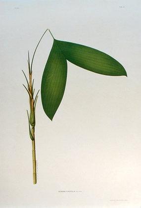 Plate 115: Geonoma Furcifolia