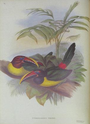 Plate 24: Pteroglossus Viridis