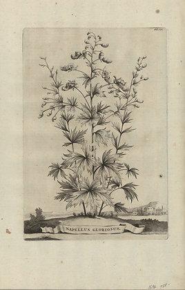Plate 079: Napellus gloriosus