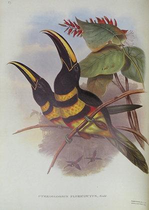 Plate 17: Pteroglossus Pluricinctus