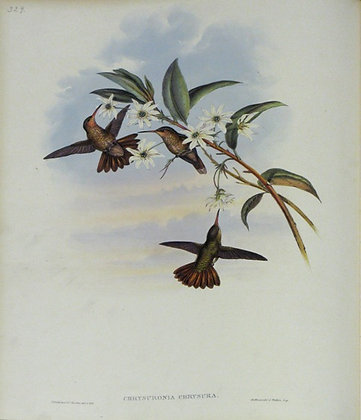Plate 329: Chrysuronia Chrysura