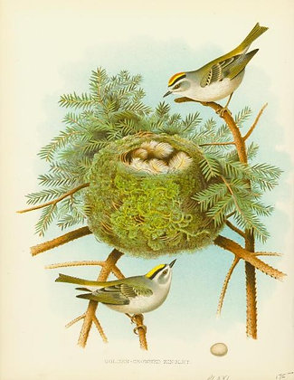 Plate 16: Golden-crowned Kinglet