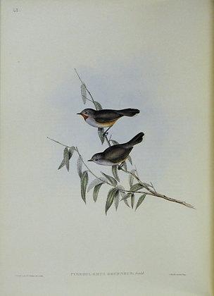Plate 368: Pyrrholaemus Brunneus (Brown Red-throat