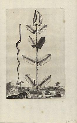 Plate 105: Apocynum Virginianum