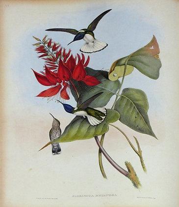 Plate 113: Florisuga Mellivora