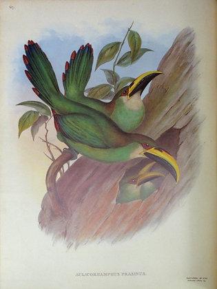 Plate 047: Aulacoramphus Prasinus