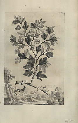 Plate 020: Sassafras arbor folio ficulneo