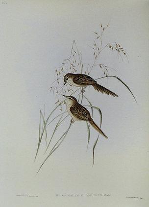 Plate 336: Sphenoeacus Gramineus
