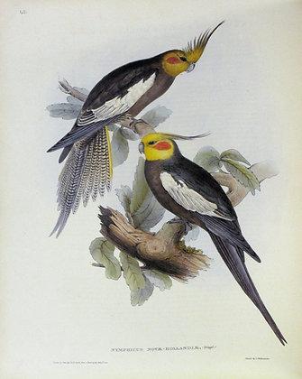Plate 545: Nymphicus Novae Hollandiae