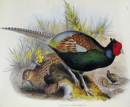 Plate 740: Phasianus Versicolor