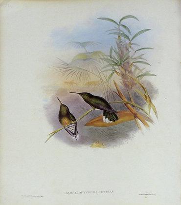 Plate 052: Campylopterus Cuvieri