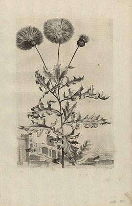 Plate 143: Cyanus odoratus Turcicus