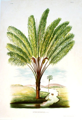 Plate 265: Astrocaryum Giganteum