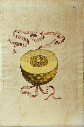Plate 63: Eiusdem Citrei Dimidium