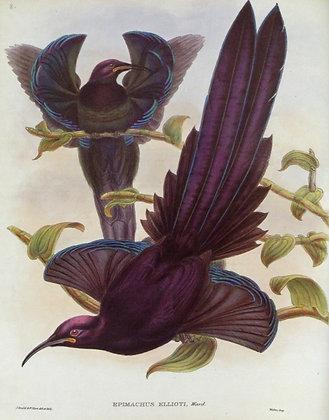 Plate 108: Epimachus Ellioti
