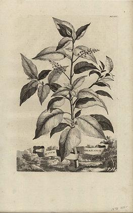 Plate 112: Blitum Americanum