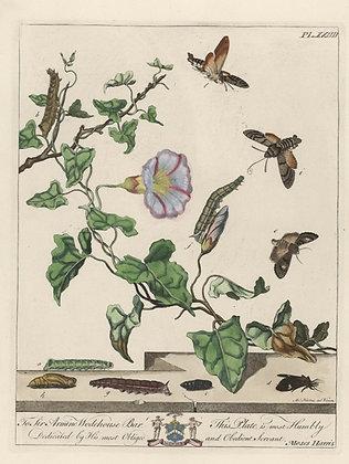 Plate 024 Hummingbird Hawk Moth, Dot Moth