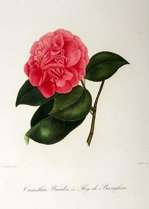 Camellia Arnoldi