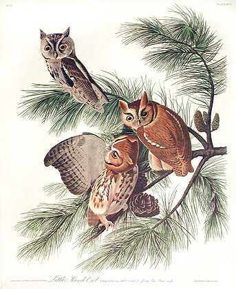 Little Screech Owls