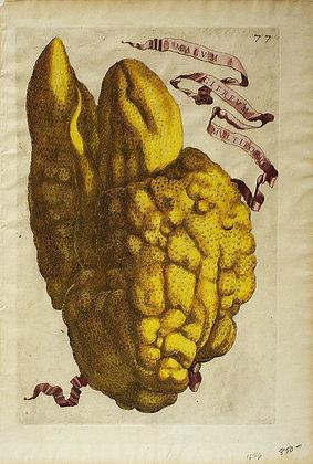 Plate 77: Malum Citreum Multiforme
