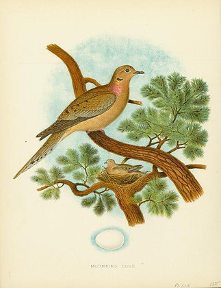 Plate 19: Morning Dove