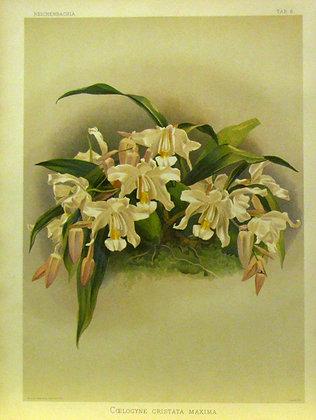 Plate 006: Coelogyne cristata maxima