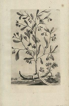 Plate 065: Cardamomum arborescens minus Africicanu