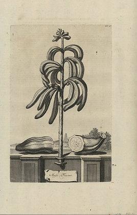 Plate 003: Malus citria cornute